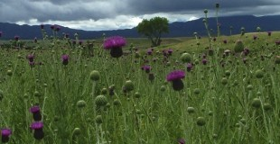 Consider a Donation. Bull Thistles in the San Rafael Valley, Patagonia, AZ © Glen E Goodwin