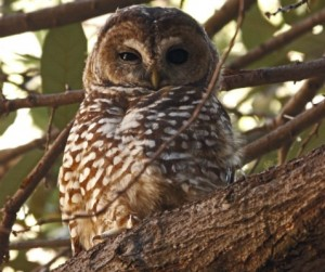 Mexican Spotted Owl © Glen E Goodwin