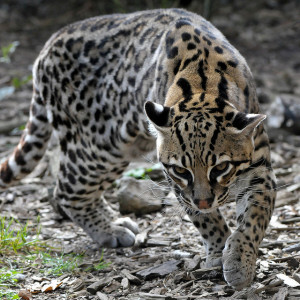 Pictured: Ocelot by Steve Harris